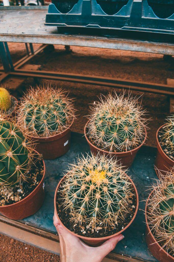Cactus Jos near Las Vegas