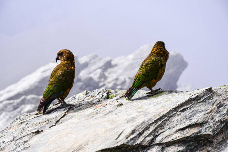 Kea is a parrot that lives in New Zealand's Southern Alps